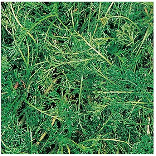 (Burpee Roman Chamomile Seeds 100 seeds)