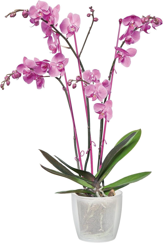 Elho Brussels Orchid High Maceta Alta 12,7x12,7x15,2 cm Blanco