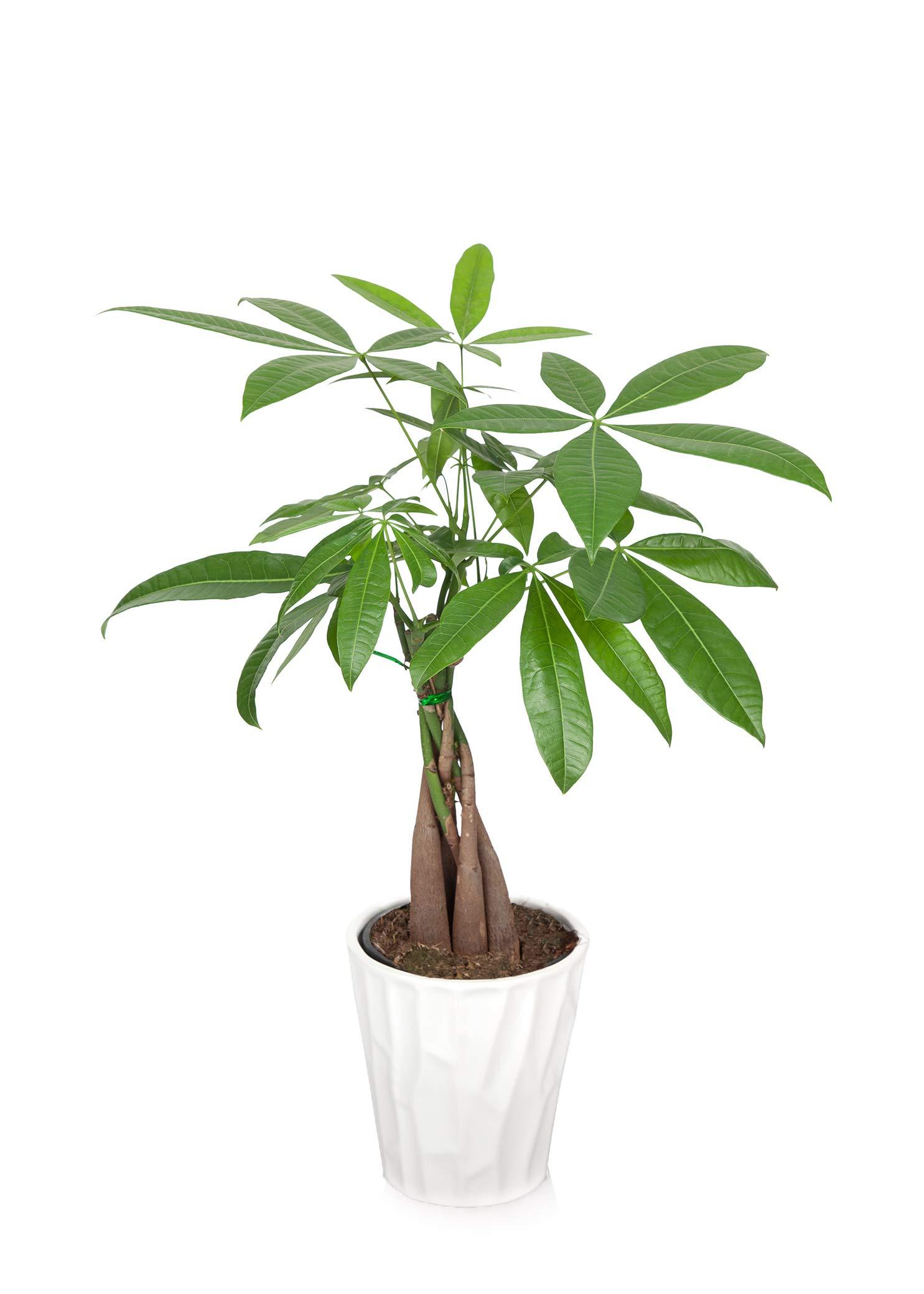 Just Add Ice JAI266 Money Tree, Green