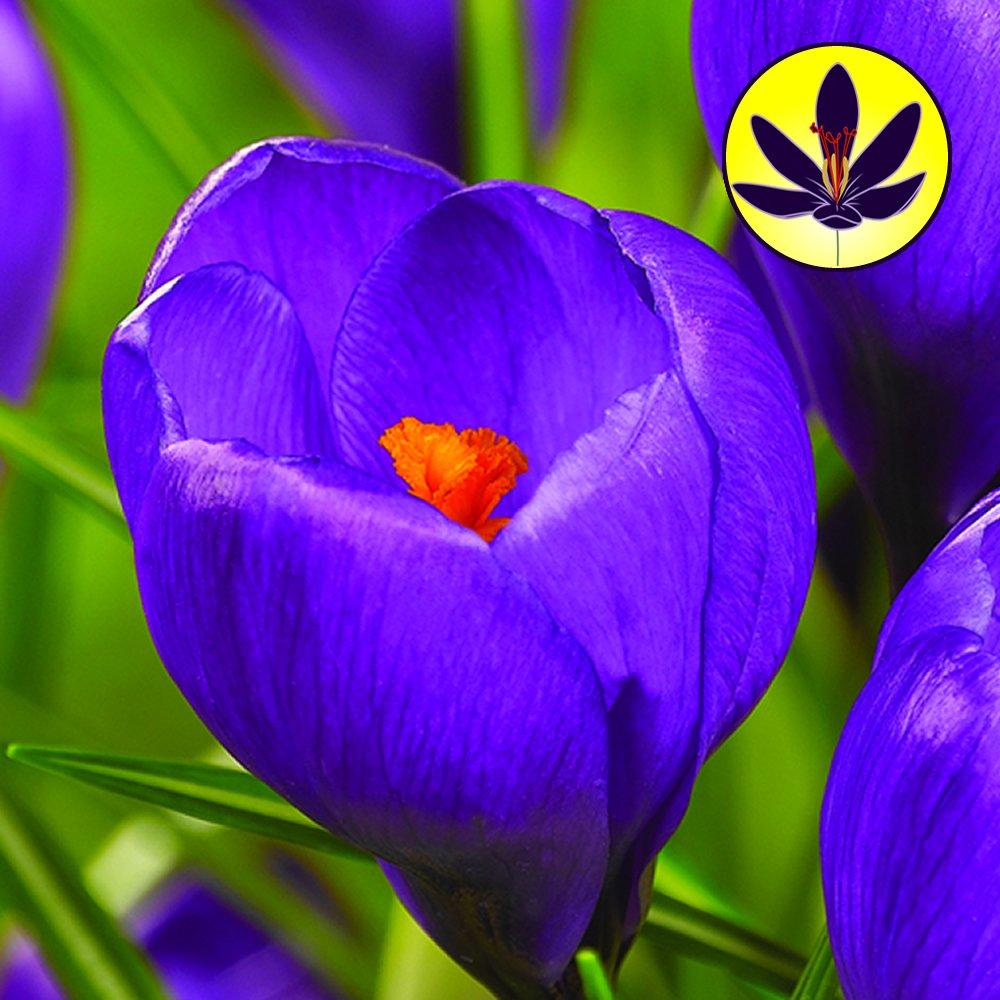Crocus Blue Large Flowering Dwarf Hardy Species Spring Flowers Bulbs