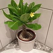 1 Hawaii Palme ungefähr 40 cm brighamia insignis