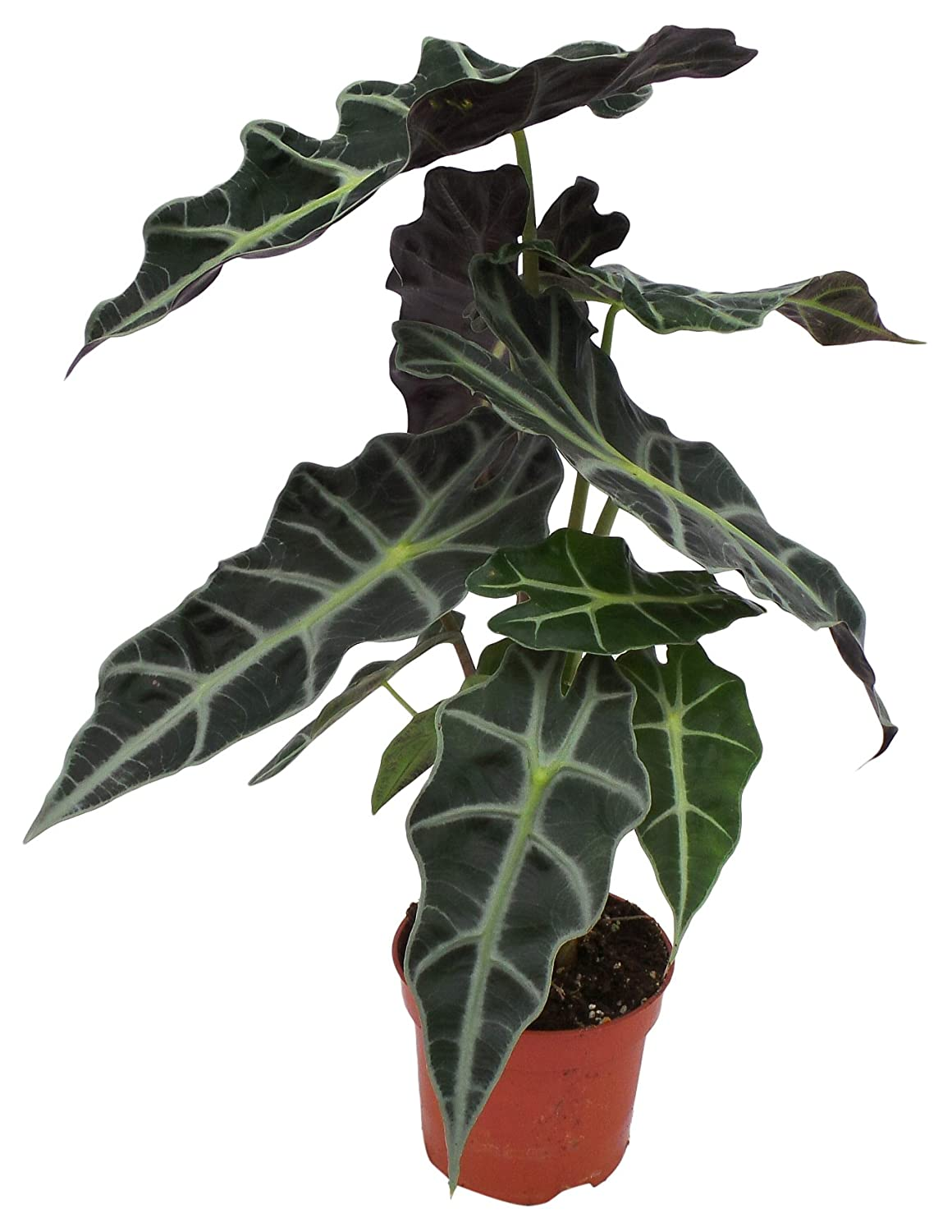 Perfect Plants Alocasia Polly Exotic House 12cm Pot. Approx 35cm Tall Houseplant, Dark Green, 35 cm