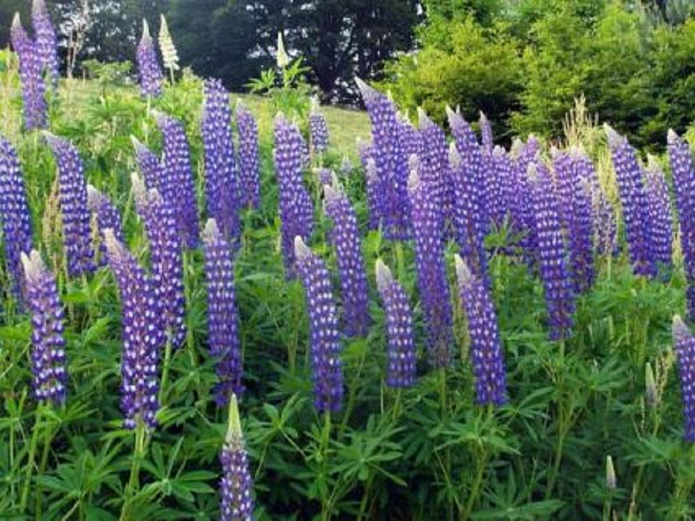 Perennial Lupine Flower Seeds - Lupinus Perennis, 8 Oz, Over 10,000 Seeds by SEEDS2GO