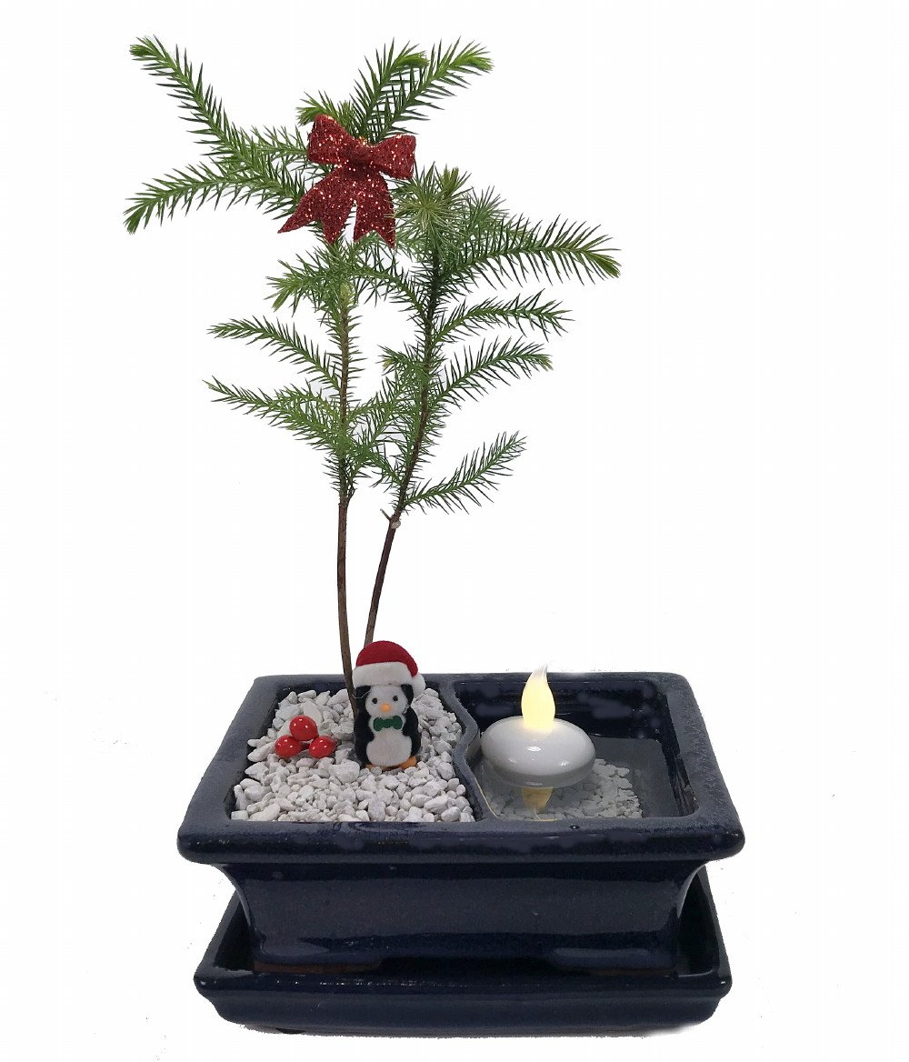 Buy Hirt 27s Gardens Norfolk Island Pine In Land Sea Ceramic Bonsai Pot Saucer Floating Led Candle Online At Low Prices In India Amazon In