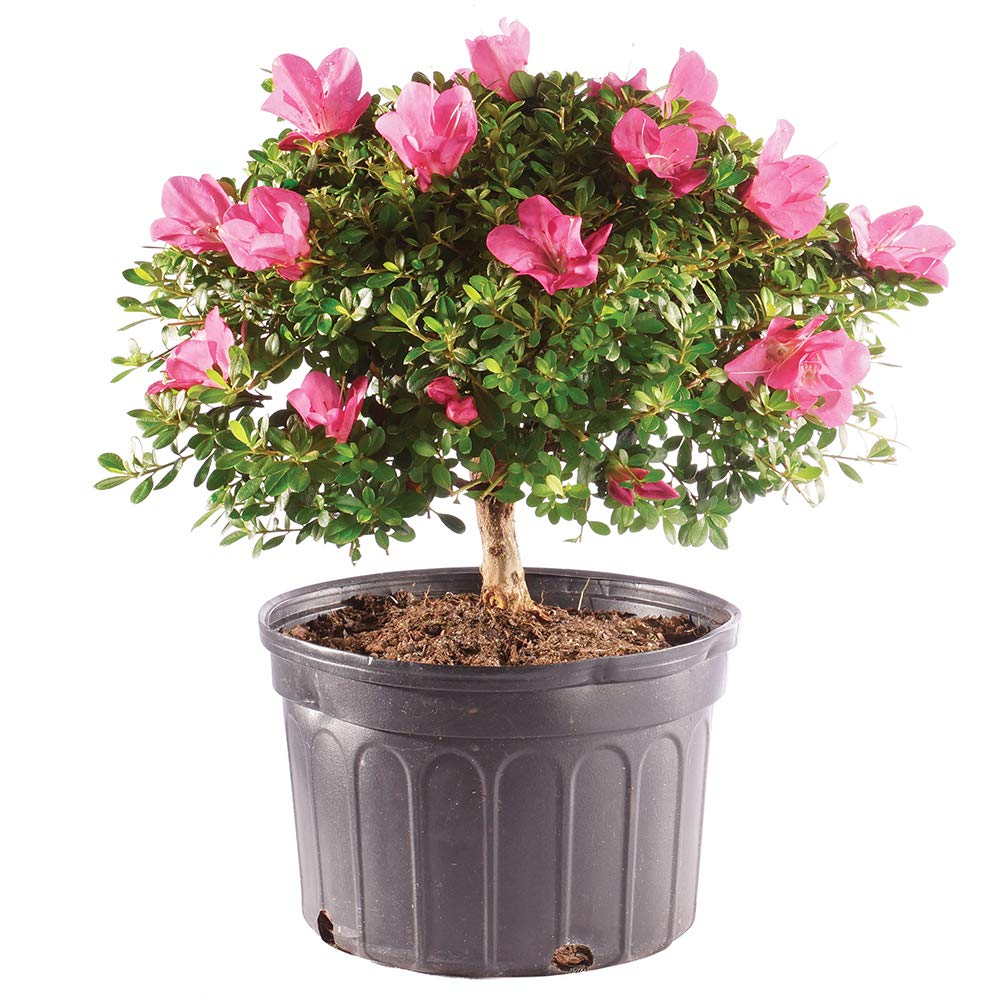 Brussel's Bonsai Live Azalea Outdoor Bonsai Tree - 8 Years Old 12'' to 14'' Tall with Plastic Grower Pot, Large,