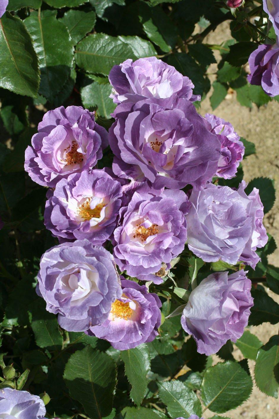 BLUE FOR YOU - 4lt Potted Floribunda Garden Rose Bush - Highly Fragrant Lilac/Blue