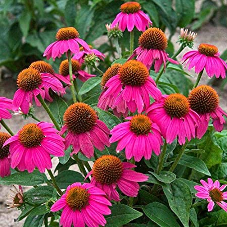 Plantas Coloridas Semillas,Equinácea Cono de Pino púrpura Pradera equinácea Semillas Flores-Pradera 500g,Ornamentales para balcón, Jardín: Amazon.es: Hogar