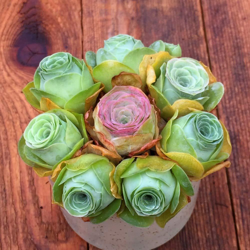 Go Garden Rare Succulent Plant 10pcs Crassulaceae Mountain Rose Outdoor Meaty Bonsai Plant
