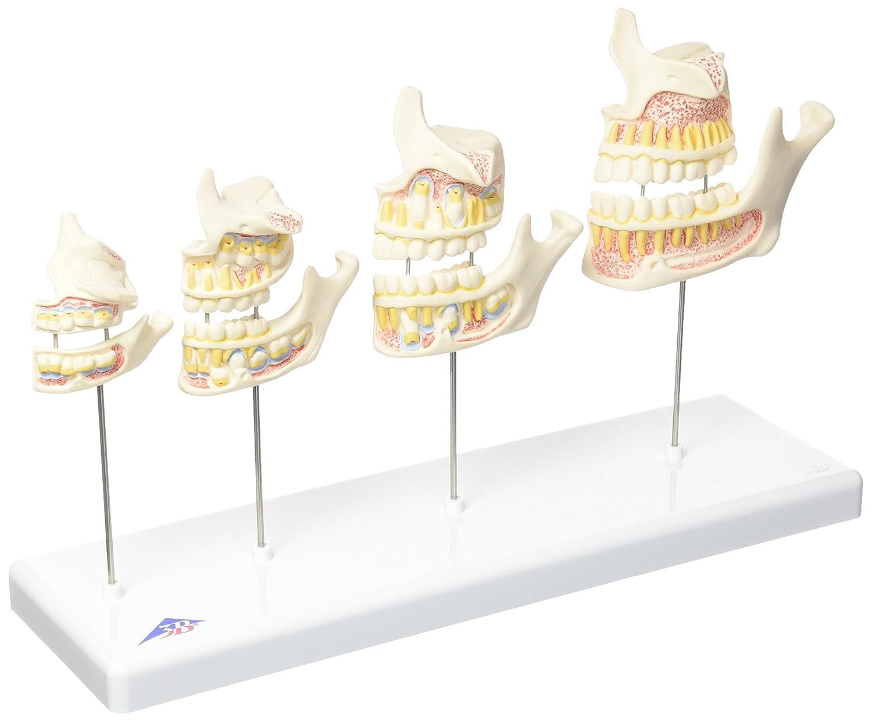 歯の成長過程モデル,実物大   B007NCUZPI