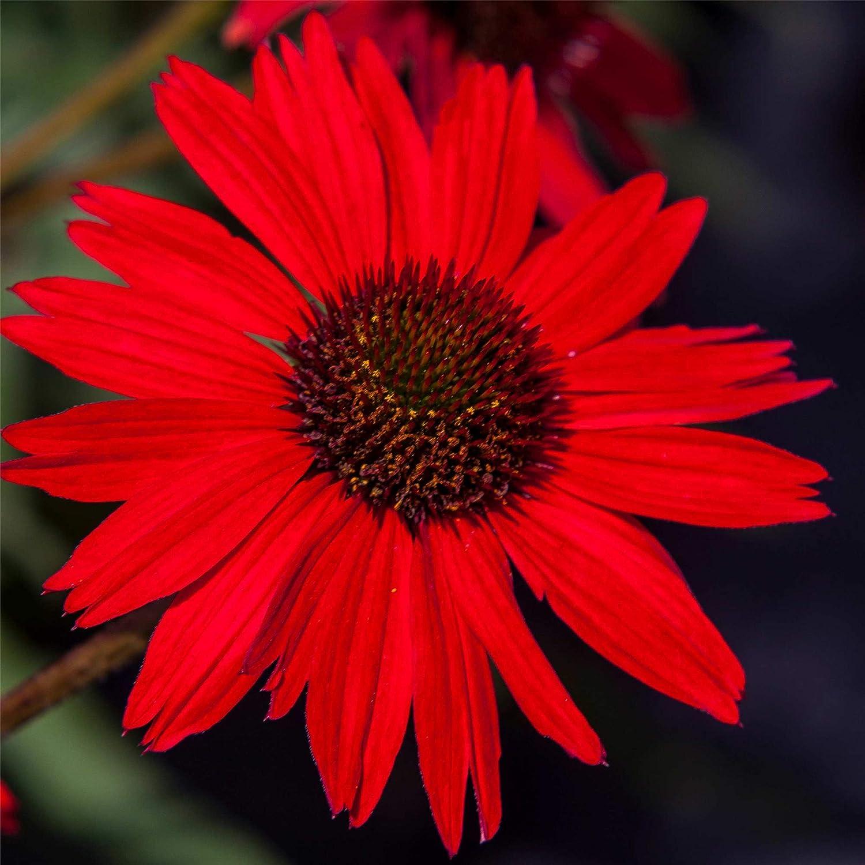 lichtnelke Sonnenhut Kismet/® Red Echinacea