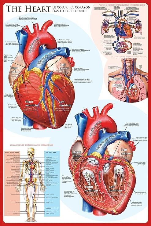 HEART BLOOD FLOW VEINS ARTERIES DIAGRAM ART PRINT Poster Wall Chart Illustration