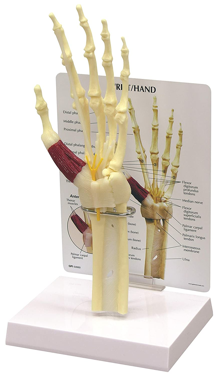 Amazon Hand Wrist Bone Joint Anatomical Model Industrial