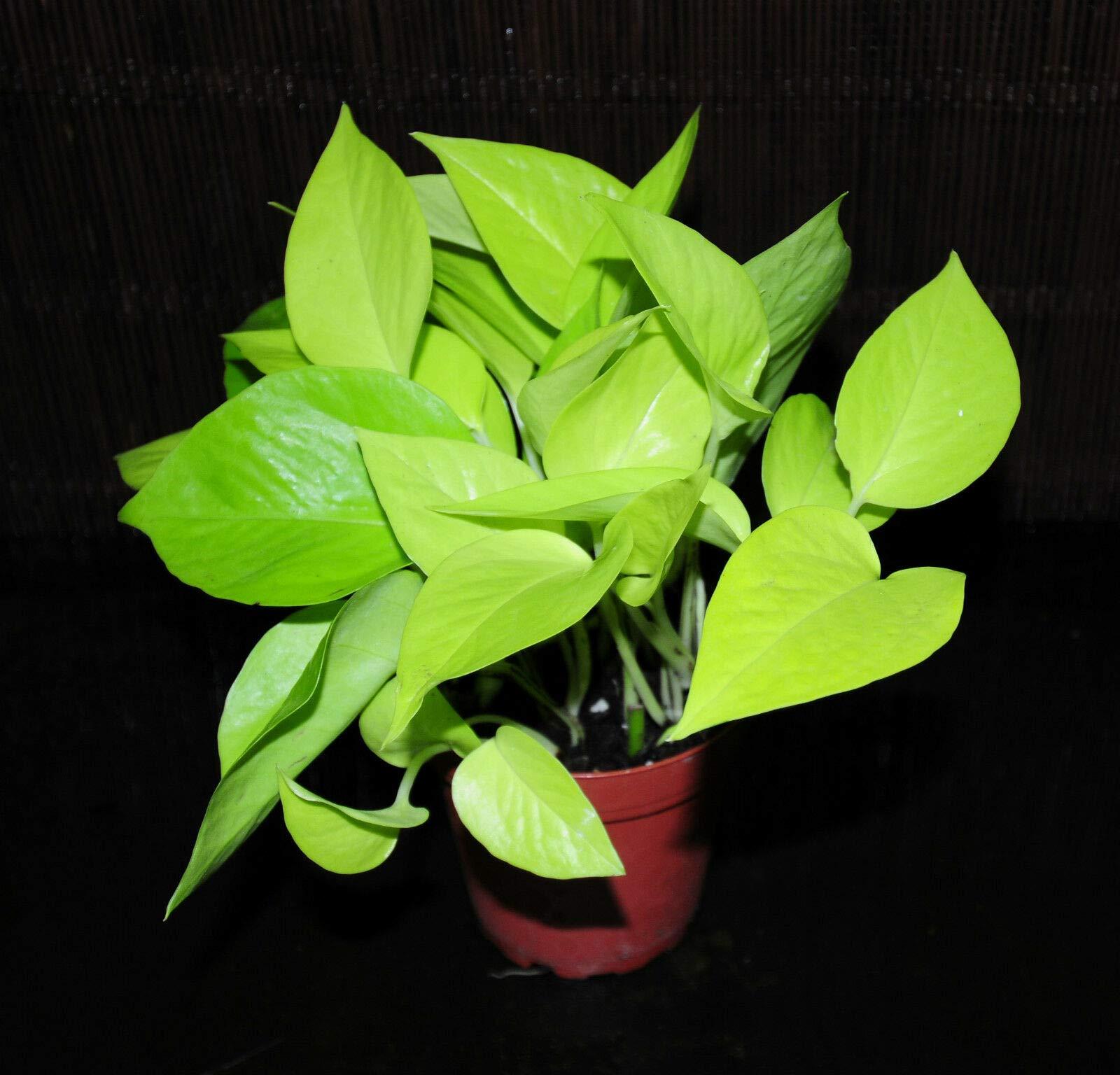 New Item~Neon Pothos 4'' Pot Epipremnum aureum Neon Beautiful Chartreuse Leaves (Premium Quality) by AY-Premium
