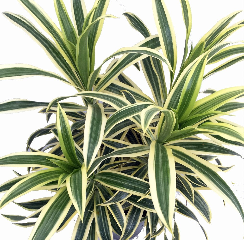Song of India Dragon Tree - Pleomele - Dracaena -6'' Pot-Easy to Grow House Plant by Hirt's Gardens (Image #2)