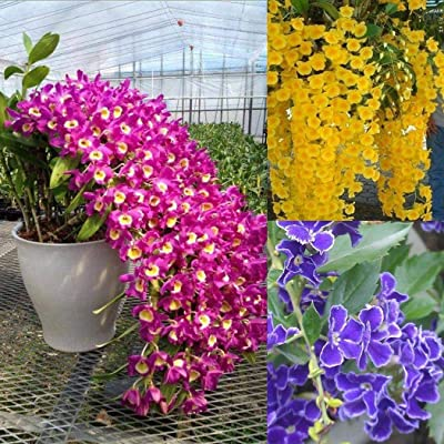 airrais100Pcs Home Gardening Ornamental Flower Fragrant Flower Dendrobium Seeds Flowers : Garden & Outdoor
