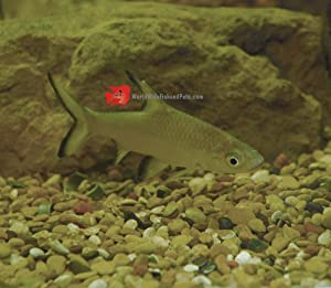 "WorldwideTropicals Live Freshwater Aquarium Fish - 3"" Bala Shark Fish - 3"" Bala Shark - by Live Freshwater Fish - Live Tropical Fish - Great For Aquariums - Populate Your Fish Tank!"