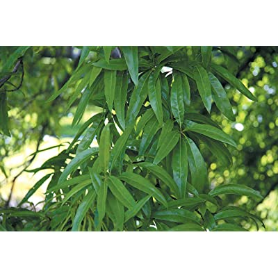 Chestnut Oak Tree - Live Healthy Established Rooted -1 Plant in Gallon Pot from Grandiosy Farm : Garden & Outdoor