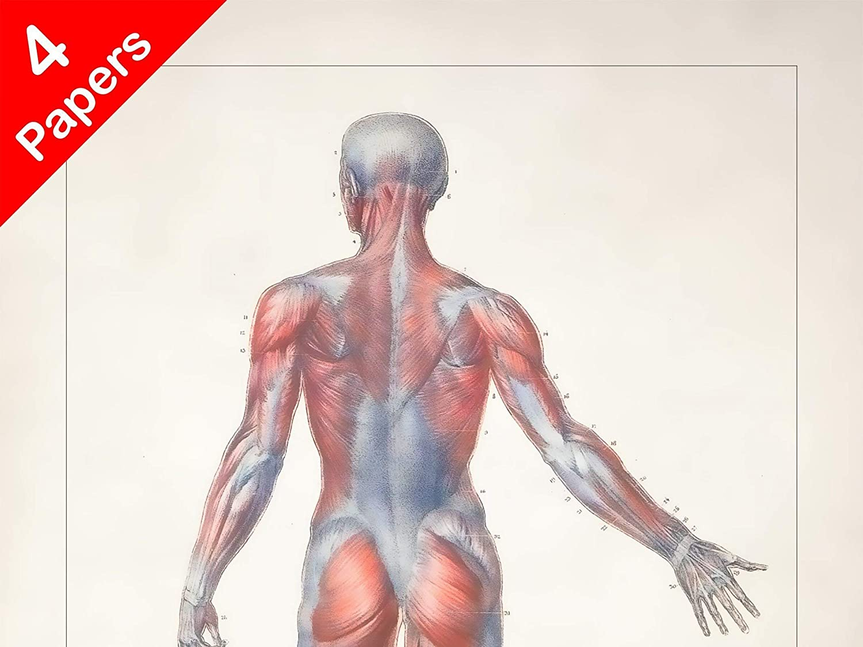 amazon com: anatomy human body back print sra3 12x18 conqueror laid paper:  handmade