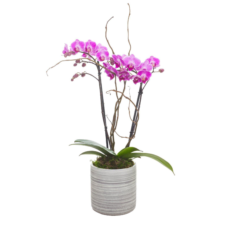 Living Phalaenopsis in Light Grey Ceramic pot - Petite Hot Pink Blooms