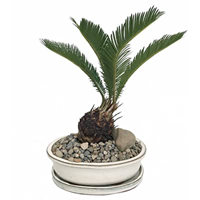 "Sago Palm Bonsai in Bonsai Dish/Saucer/Pebbles/Stone -Easy to Grow- 8"" x 6"" x 3"" : Live Indoor Bonsai Plants : Everything Else"