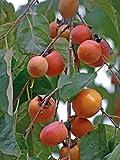 "American Persimmon Tree - Diospyros virginiana - 4"" Pot - Very Hardy/Productive"