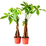 9Greenbox 5 Plants Braided Into 1 Pachira Tree, Money Tree, 3 Pound (Pack of 2)