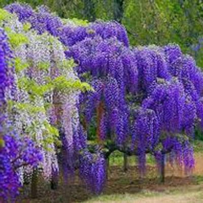 airrais Seeds 10 Pcs Wisteria Tree Seeds Wisteria Sinensis Seeds Flower Seeds Ornamental Hardy Climbing Plant Seeds : Garden & Outdoor
