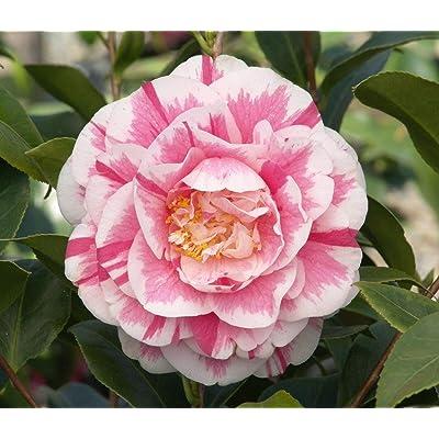 Jordans Pride Camellia Japonica Live Plant 4 Inch Pot : Garden & Outdoor