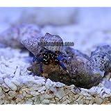 Blue Leg Hermit Crab - 50 Lot