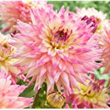 Romantique Decorative Dahlia - 2 Root Clumps - NEW!