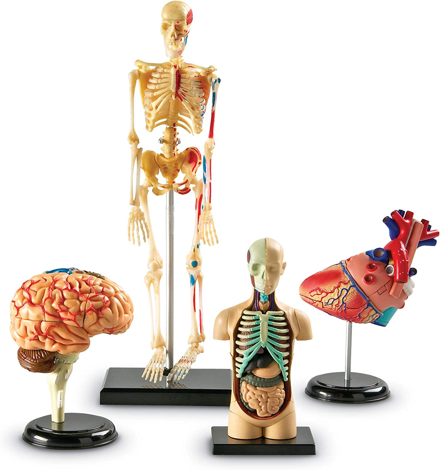 Anatomy Models Bundle Set, Brain, Body, Heart, Skeleton
