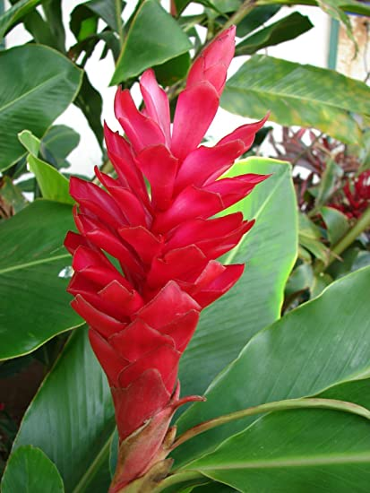 HAWAIIAN GINGER PINK ALPINIA PURPURATA LIVE TROPICAL  EXOTIC PLANT