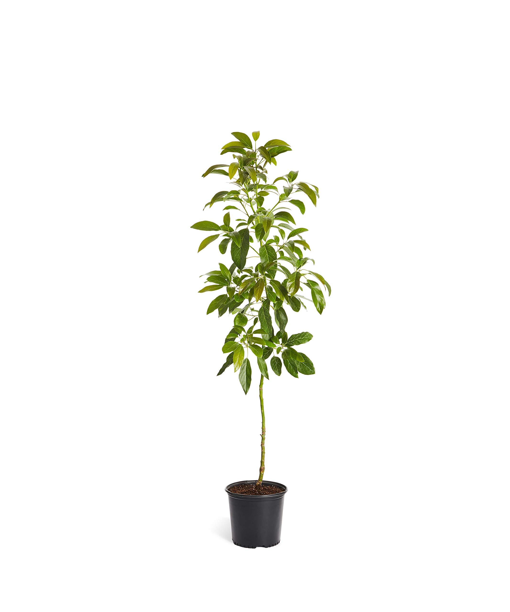 HASS Avocado Tree - Large Indoor/Outdoor Avocado Trees, Ready to give Fruit - Get Delicious Avocado Fruit Year Round from This Patio Fruit Tree - 3-4 ft. - Cannot Ship to AZ by Brighter Blooms (Image #1)