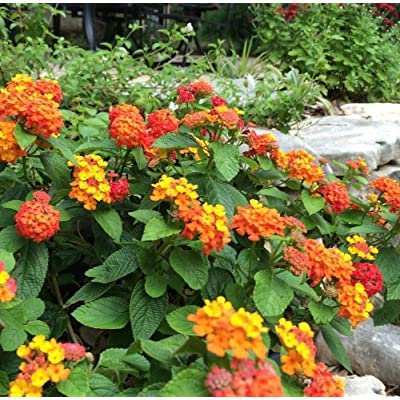 Lantana horrida Texas Lantana - Rare Seeds! : Garden & Outdoor