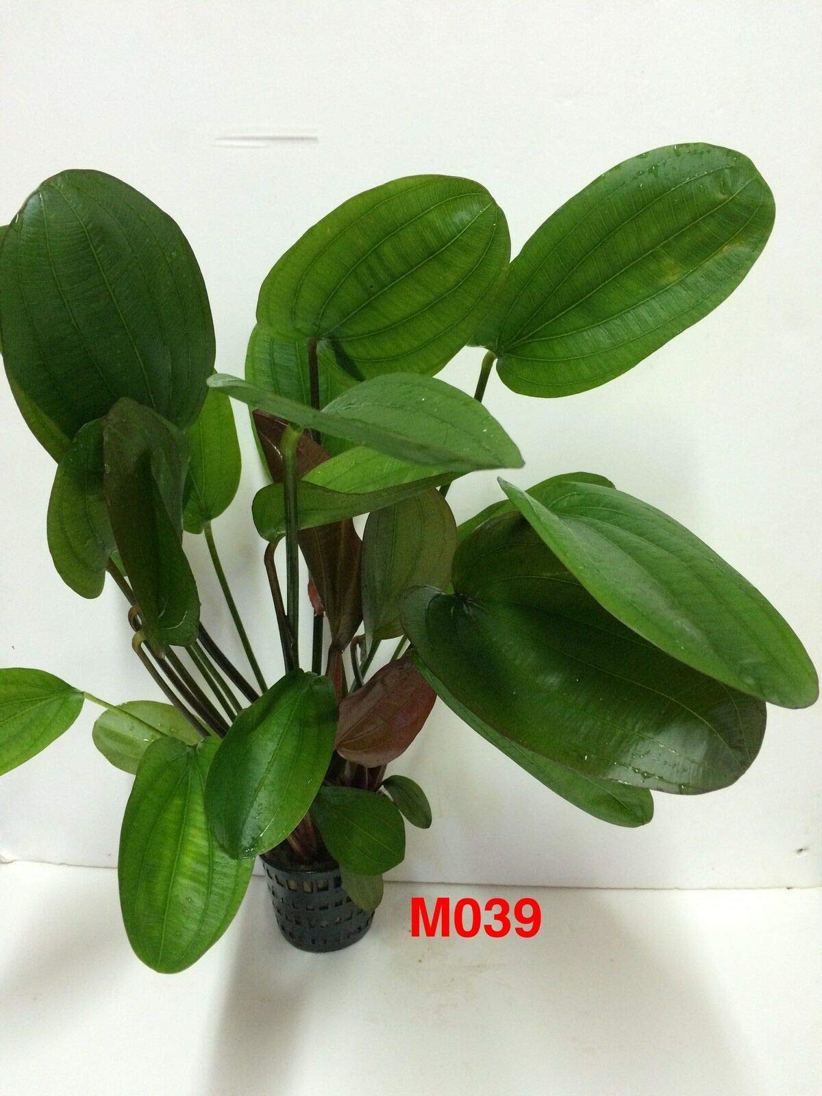 Echinodorus 'Big Bear' Mother Pot Live Aquatic Fresh Water Plant M039 jKE -133