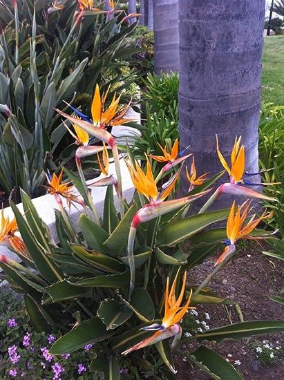 Strelitzia Reginae Johnson Seeds Flower 10 Seeds
