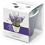Domestico Lavender Growing Kit (Black), All-in-One Set - Self-Watering Pot 10 x 10 cm, Tested Seeds, Fresh Substrate with nutrients