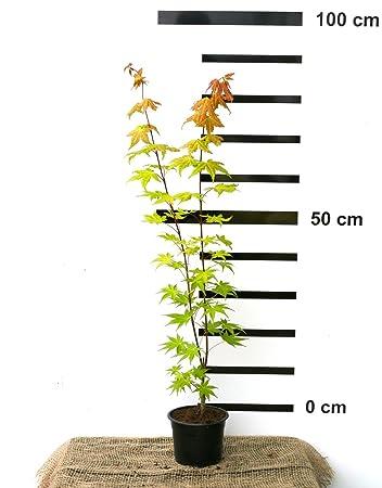 Japanischer Gold-Grüner-Fächer-Ahorn - Acer shirasawanum Jordan - 60 ...