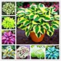 150pcs/bag beautiful Hosta Plants Perennials Lily Flower Shade Hosta Flower Grass Seeds Ornamental Plants Home Garden