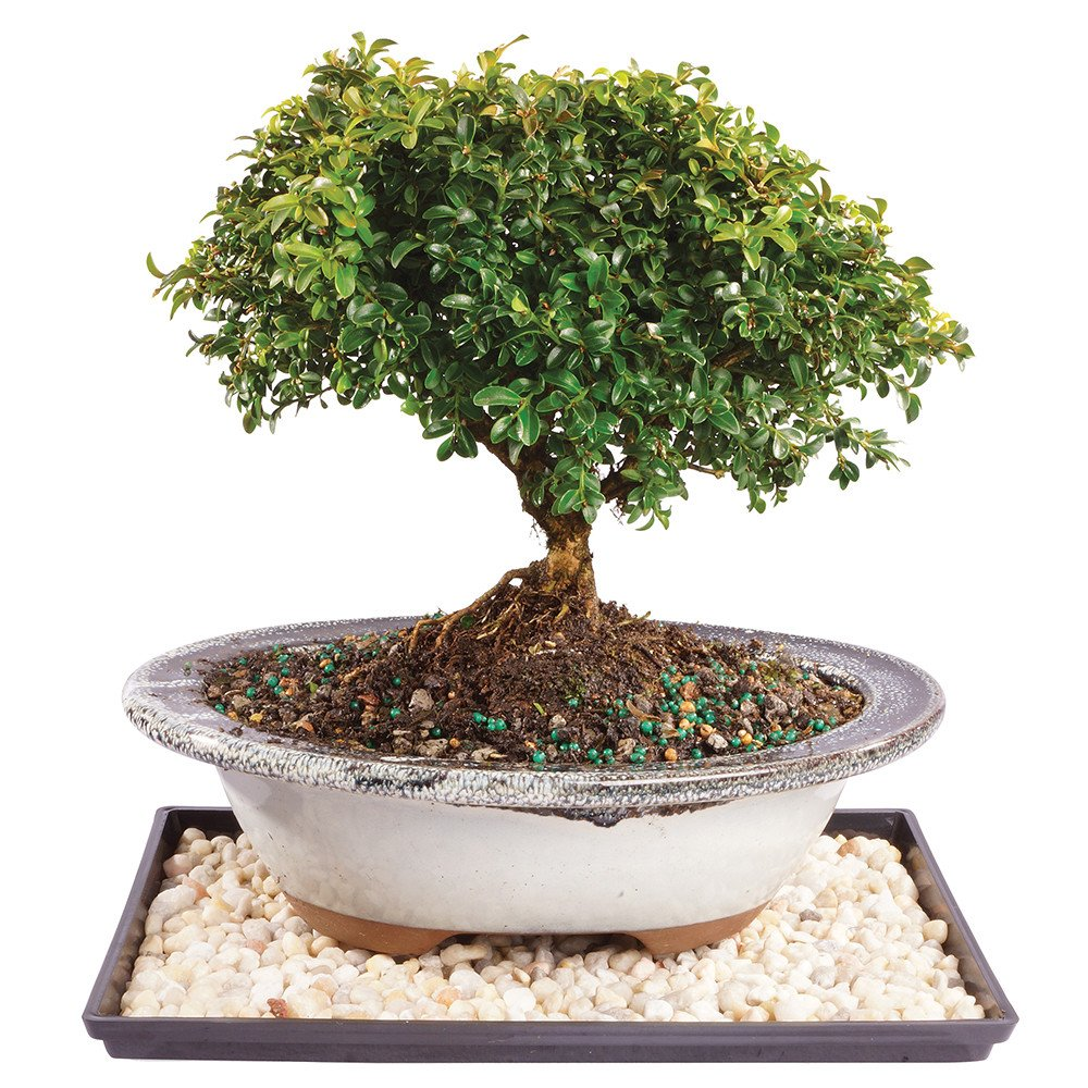 Brussel's Live Dwarf Kingville Boxwood Outdoor Bonsai Tree - 7 Years Old; 8'' to 12'' Tall with Decorative Container, Humidity Tray & Deco Rock