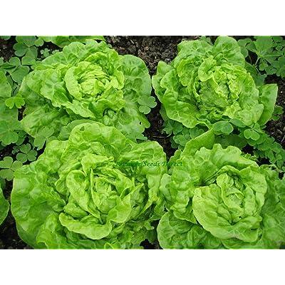 Tom Thumb Leaf Lettuce Seeds, Butterhead, Bibb, Non-GMO, Heirloom 700 Seeds : Garden & Outdoor