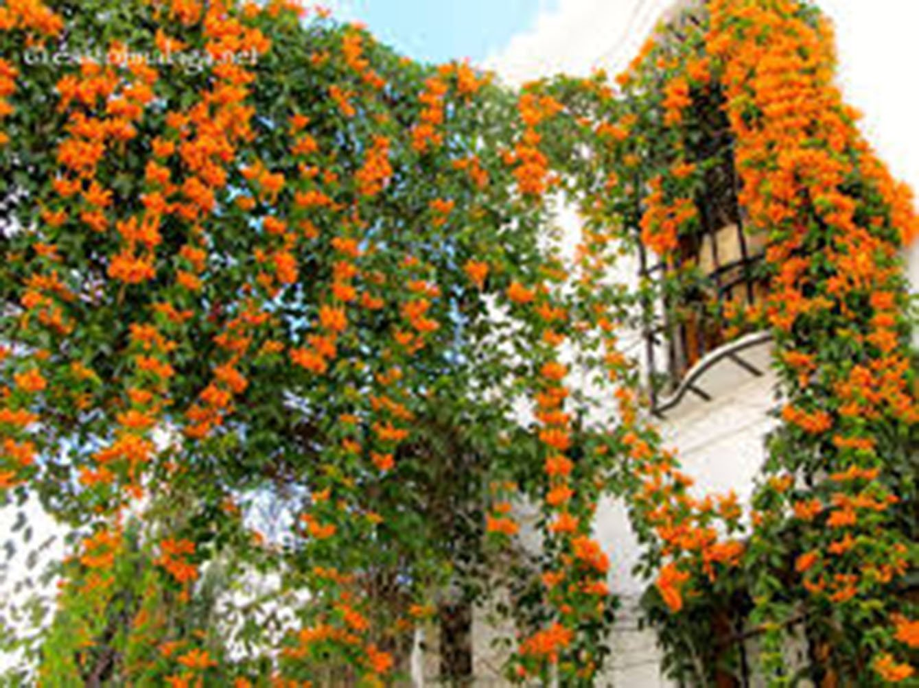 Trumpet Vine Creeper, Trumpet Flower, Campsis radican, (6) 16''-24'', Orange Flower, Orange Flowers, Vine, Vines, Hummingbird Vine, Hummingbird Flowers, Trumpet Vine Flower, Live Plants, Plant by Organic Heirloom Plants (Image #6)