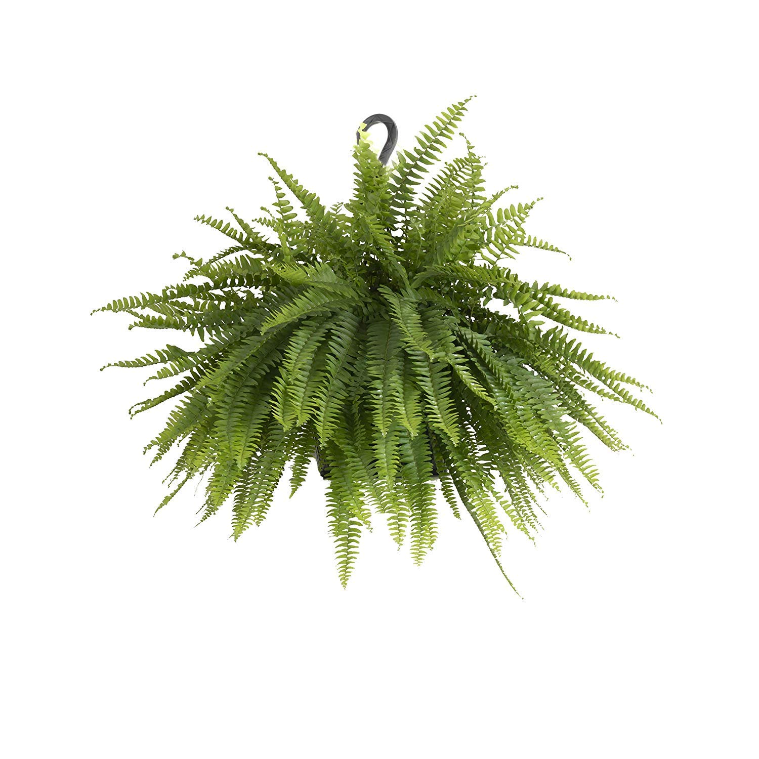 United Nursery Boston Fern, Live Indoor and Outdoor Hanging Basket Plant. 30'' Shipping Size. Shipped Fresh from Our Florida Farm