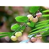 "Katuk - Tropical Asparagus - Star Gooseberry - Sweet Leaf - Sauropus - 4"" Pot"
