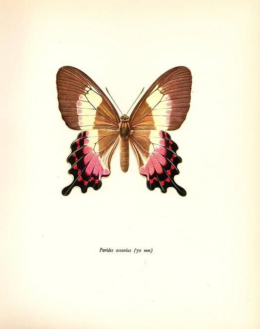 """1963 Vintage PROCHAZKA BUTTERFLY /""""PARIDES CRAMER/"""" COLOR offset Lithograph"""