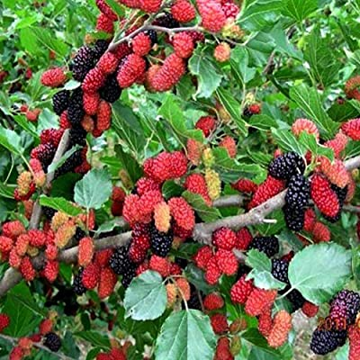 100 Piece Strawberry Fruit Seeds Bonsai Mulberry Fruit Tree Seeds for Planting : Garden & Outdoor