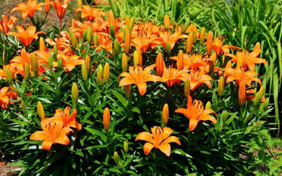 b91660e9f GARTHWAITE NURSERIES® : -12 Orange Ton (Orange) Asiatic Lily Bulbs Garden  Summer Perennial: Amazon.co.uk: Garden & Outdoors