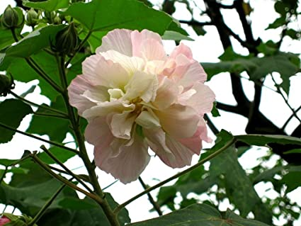 Amazon confederate cotton rose hibiscus mutablis plant shrub confederate cotton rose hibiscus mutablis plant shrub flowers pink turns white blooms summer fall starter size mightylinksfo