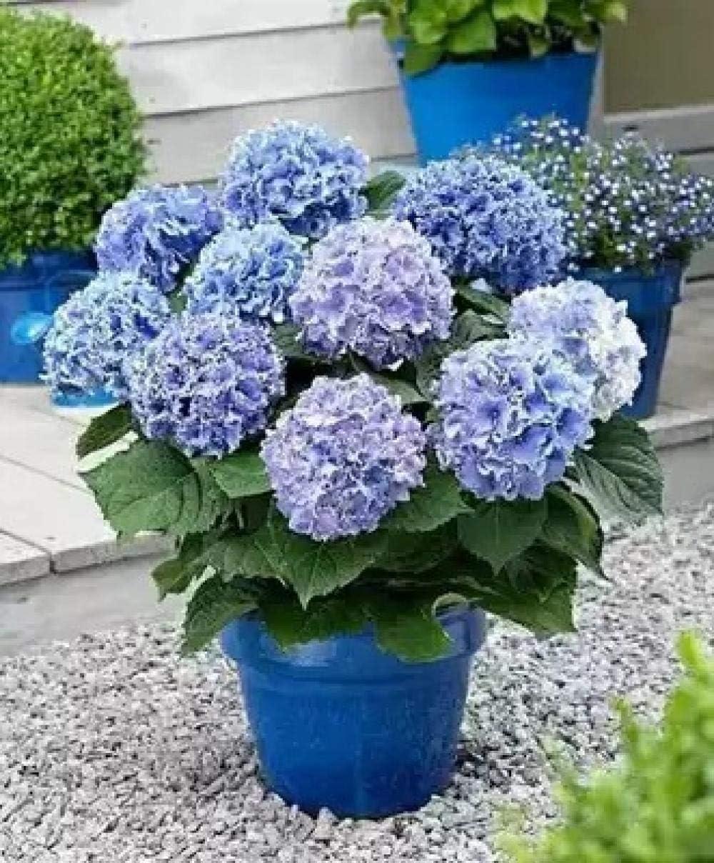 Eastbride Raras Semillas de césped,Semillas de hortensias, Planta de Flor de jardín de floración de Cuatro Estaciones-0.25kg_X,Mezcla Semillas Ornamentales