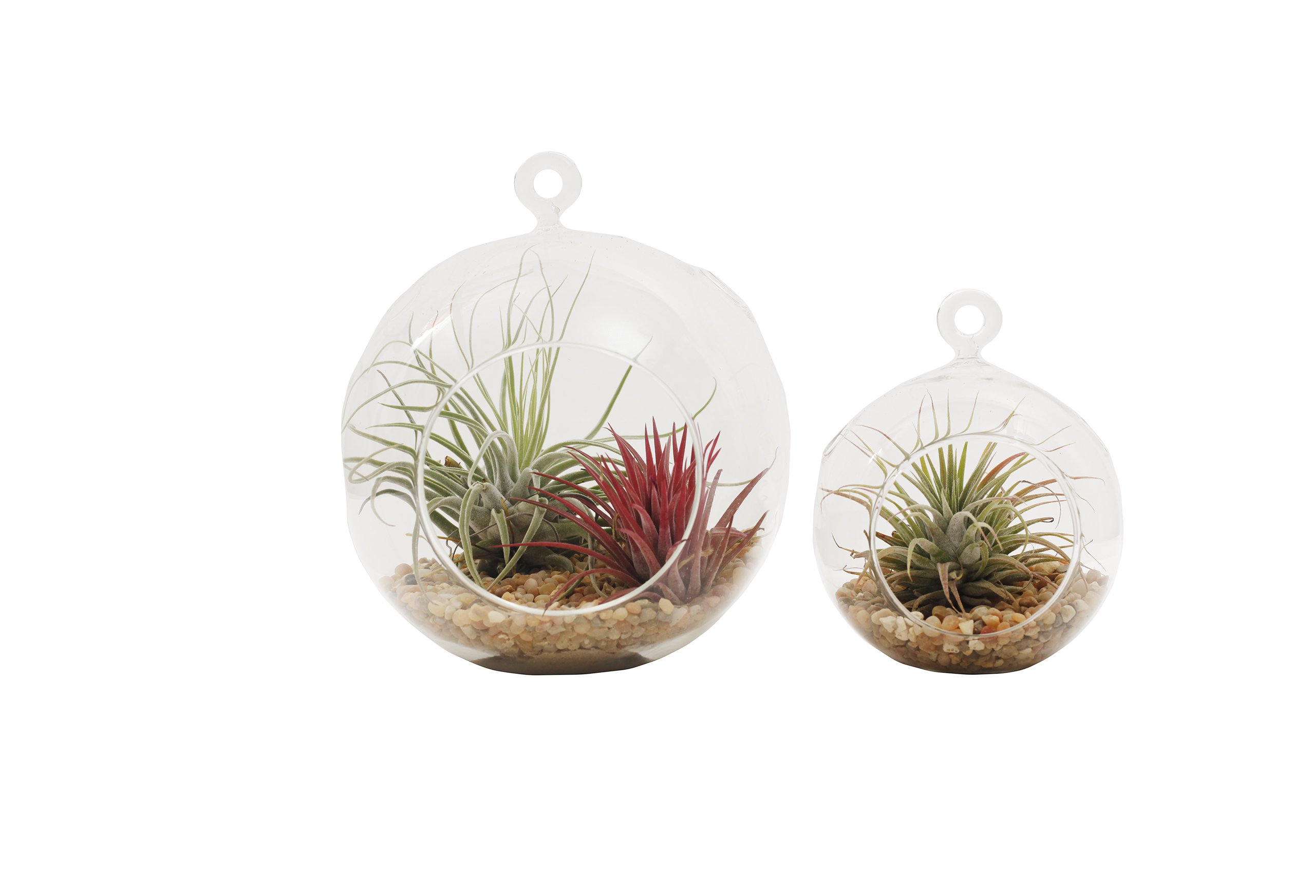 Shop Succulents | | Live Air Plants in Mini & Large Terrarium Duo, Hand Selected, Ideal for Home Décor or Wedding Events | Set of 2 by Shop Succulents